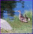 Ford Park, Duck and Ducklings, Redlands, CA 7-12 (7747339960).jpg