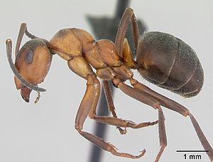 Präparierte Formica aquilonia Arbeiterin