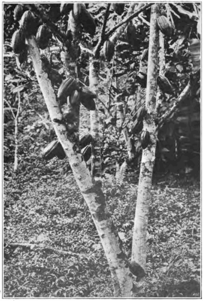 Fotg cocoa d156 cacao tree in trinidad.png