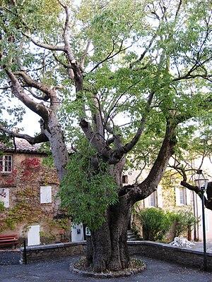 Fox-Amphoux - Image: Fox Amphoux trees, 2