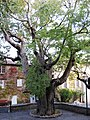 Fox Amphoux trees, 2.jpg