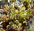 Fraxinus angustifolia, bloeiwyses en bye, c, Tweeling.jpg