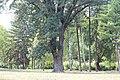 Fraxinus ornus - Crni jasen (7)665.jpg