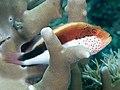 Freckled hawkfish (Paracirrhites forsteri) (47781088971).jpg