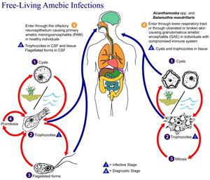 Brain-eating Amoeba - Naegleria fowleri - Details ...