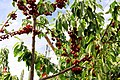 Fresh Cherries.jpg