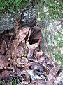 Frog near a stone.JPG