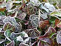 Frosted ivy leaves - geograph.org.uk - 1117524.jpg