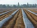 Fruit farming, Wargrave - geograph.org.uk - 566480.jpg