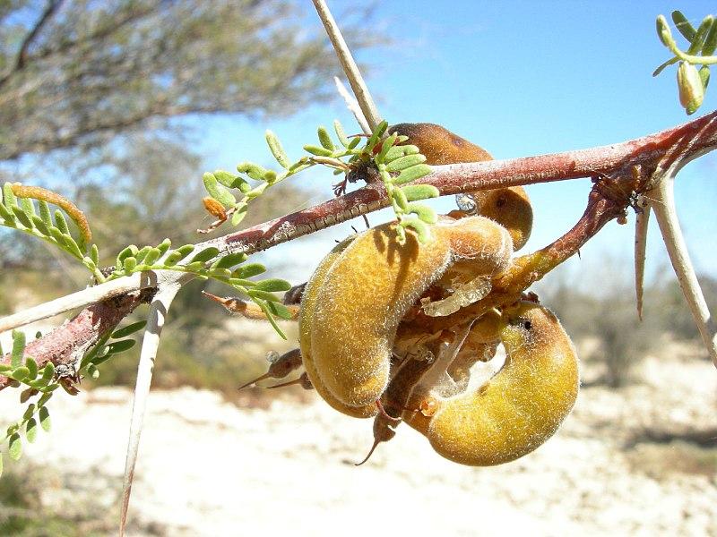 fruits, feuilles et branches du tamarugo