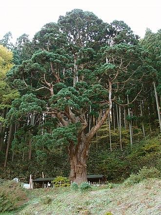 Taxodioideae - Image: Fukaura town kitakanegasawa seki no kame sugi