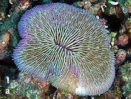 Fungia fungites, Layang-Layang.jpg