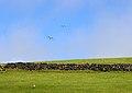 Gaivotas voam Larus michahellis atlantis, Ilha Terceira, Açores.jpg