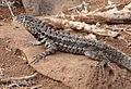 Galápagos Lava Lizard 01 (crop).jpg