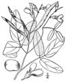 Galactia volubilis BB-1913.png