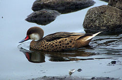 Galapagos white-cheeked pintail duck -Santa Cruz highlands.jpg