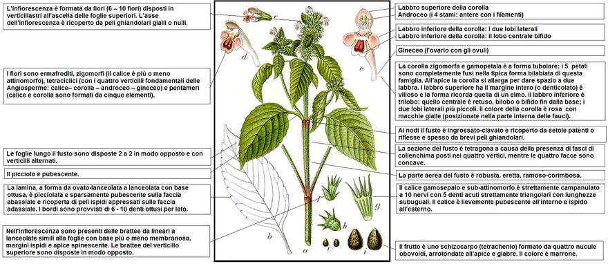 pianta dai fiori gialli usata in profumeria