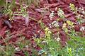 Galium asprellum buds, flowers and seed capsules.jpg