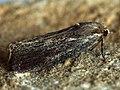 Galleria mellonella - Honeycomb moth - Огнёвка восковая (40487367884).jpg
