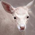 Gamo Albino no zoo da Madroa, Vigo.jpg