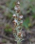 Gamochaeta calviceps flowerhead1 Dungog (15256566672).jpg