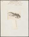 Gecko fascicularis - 1700-1880 - Print - Iconographia Zoologica - Special Collections University of Amsterdam - UBA01 IZ12300119.tif