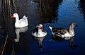 Geese. (8648141850).jpg
