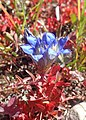 Gentiana affinis kz01.jpg