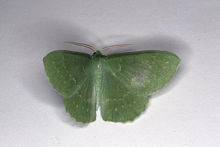 Geometra papilionaria, Lodz(Poland)01(js).jpg