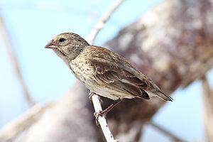 Reinforcement (speciation) - The small ground finch, one of Darwin's finches of the Galápagos