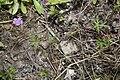 Geranium colombinum coteau-charteves 02 12072007 2.jpg