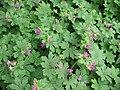 Geranium macrorrhizum001.jpg