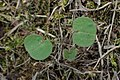 Geranium pyrenaicum kz02.jpg