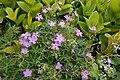 Geranium yesoense var. nipponicum 08.jpg