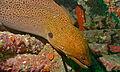 Giant Moray (Gymnothorax javanicus) (8502368813).jpg