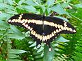 Giant swallowtail.jpeg