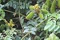 Gila1(Caesalpinia Bonducella).jpg