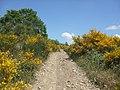 Ginestre fiorite sulla cima del monte Castiglion Maggio (756 m. s.l.m.) - panoramio.jpg