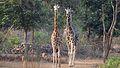 Giraffe Pair - Vandalur Zoo.jpg