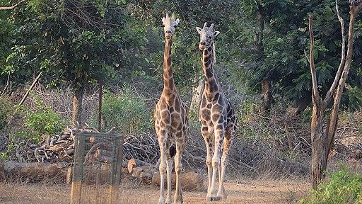 Arignar Anna Zoological Park -Vandalur Zoo