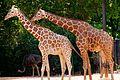 Giraffes Necking (7313729886).jpg
