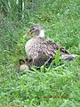 Gisy-sur-Oreuse-FR-89-canard colvert femelle & ses canetons.jpg