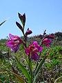 Gladiolus illyricus1.jpg