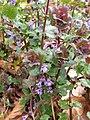 Glechoma hederacea 120842015.jpg