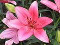 Glio Lily5.jpg