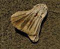 Glyptocrinus decadactylus.jpg