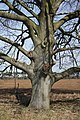 Gnarled beech tree - geograph.org.uk - 715907.jpg