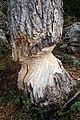 Gnawed tree 2.jpg