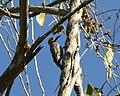 Golden-cheeked Woodpecker.jpg