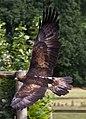 Golden Eagle 6a (6022918414).jpg
